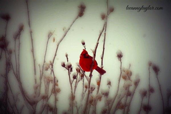 red bird in snow Psalm 28:7